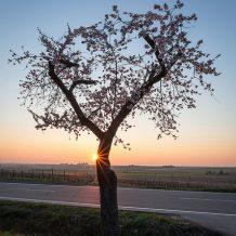 Foto: Mandelbaum in der Pfalz