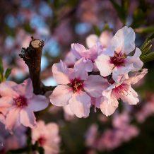 Foto: Mandelblüte in der Pfalz