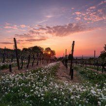 Foto: Weinberg bei Sonnenuntergang