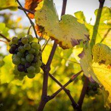 Foto: Weintrauben in der Sonne